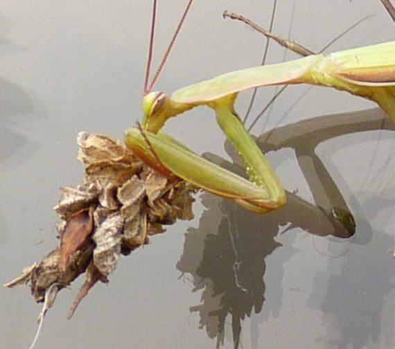 preying-mantis-911