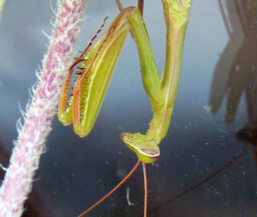 What does a praying mantis eat? this preying mantis was eating my Lavendula flowers!