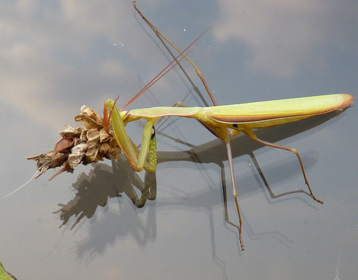 what-do-praying mantis eat