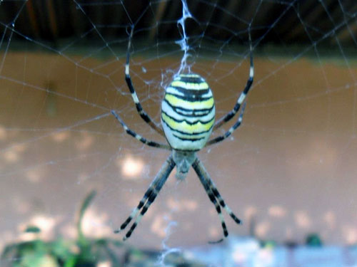 Yellow black grey back spider spinning